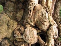 Scary Tree Bark. Strange shapes formed in tree bark royalty free stock photography