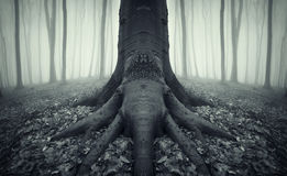 Scary tree with big roots in a forest with fog Royalty Free Stock Photos