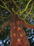 Scary tree. The close-up angle of the tree and the moss branches gives it a intimidated look, perfect to illustrate concepts like scary, bully or spooky royalty free stock photography