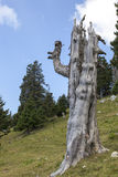 Scary tree in the mountains Royalty Free Stock Images
