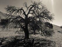 Scary tree in Santa Barbara Royalty Free Stock Images