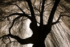 Scary Weeping Willow Tree. With Long Branches stock photo