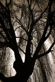 Scary Weeping Willow Tree. Silohoutte royalty free stock image