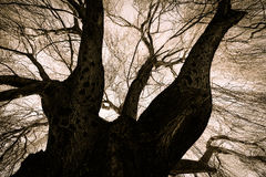 Scary Weeping Willow Tree. Trunk and Branches royalty free stock images