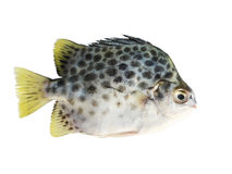 Scat Fish On White Background Stock Photography