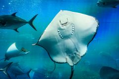 Great white Stingray, in blue water. Scat floats in blue water filled with air bubbles. Clear water and white Stingray body Royalty Free Stock Photos