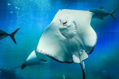 Great white Stingray, in blue water. Scat floats in blue water filled with air bubbles. Clear water and white Stingray body Stock Photography