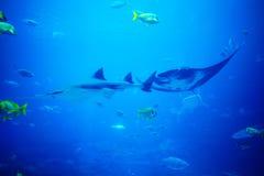 Scate, haai en vissen in aquarium Stock Fotografie
