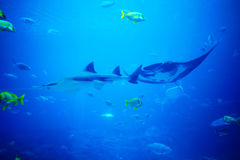 Scate, Haifisch und Fische im Aquarium stockfotografie