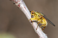 Scathophaga stercoraria. Common yellow dung fly, photographed in nature royalty free stock photos