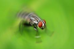 Scathophaga Stercoraria Foto de archivo libre de regalías