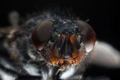 Scathophaga Stercoraria Royalty-vrije Stock Afbeeldingen