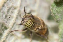 Scathophaga Stercoraria Royalty-vrije Stock Afbeelding