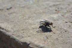 Scathophaga Stercoraria Fotografía de archivo