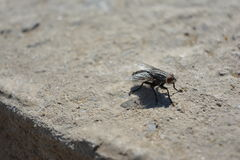 Scathophaga Stercoraria Stockfotografie