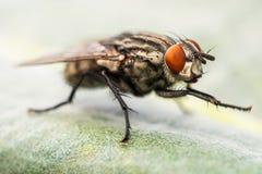 Scathophaga Stercoraria Lizenzfreies Stockfoto