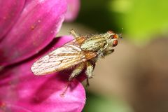 Scathophagidae, Muscoidea, gnojowa komarnica Zdjęcie Stock