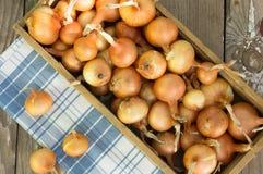 Scatola con cipolle su una vecchia porta Raccolto della cipolla agricoltura Fotografie Stock