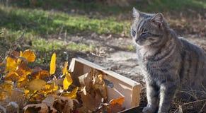 Scatola delle foglie di autunno e del gatto grigio fotografia stock