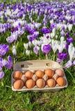 Scatola delle uova con le uova del pollo ed i croco variopinti Fotografie Stock Libere da Diritti