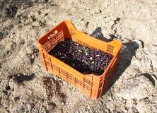 Scatola di rossa le olive sulla terra Immagine Stock
