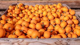 Scatola in pieno di piccole zucche arancio ad un mercato degli agricoltori fotografie stock libere da diritti