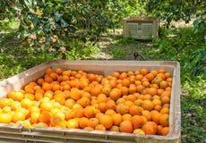 Scatole con le arance in un giardino Fotografia Stock