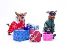 Scatole del Russo giocattolo-Terrier, della chihuahua e di regalo fotografia stock