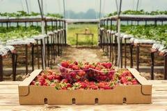 Scatole di fragole nel mercato dell'agricoltore Casse in pieno di fragaria Immagine Stock