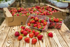 Scatole di fragole nel mercato dell'agricoltore Casse in pieno di fragaria Immagine Stock Libera da Diritti