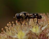 Scatophaga-stercoraria Fliege hat ein Opfer gefangen Stockbilder