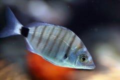 scatophagus ψαριών Argus ενυδρείων Στοκ φωτογραφία με δικαίωμα ελεύθερης χρήσης