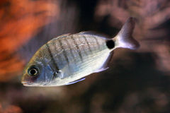 scatophagus ψαριών Argus ενυδρείων Στοκ Εικόνα