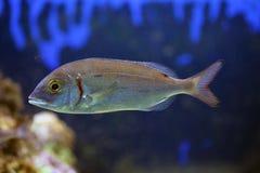 scatophagus ψαριών Argus ενυδρείων Στοκ φωτογραφίες με δικαίωμα ελεύθερης χρήσης