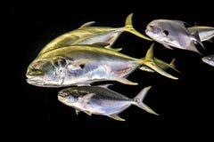 scatophagus рыб argus аквариума Стоковые Фотографии RF