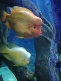 scatophagus рыб argus аквариума стоковые изображения rf