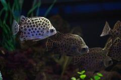 Scatophagus argus är den populära akvariefisken Fotografering för Bildbyråer