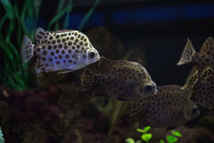 Scatophagus argus популярная рыба аквариума Стоковое Изображение