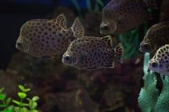 Scatophagus argus рыба аквариума Стоковые Фото