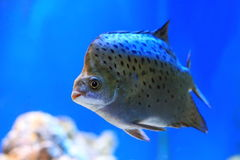 Scatophagus argus. Aquarian fish close up Royalty Free Stock Image
