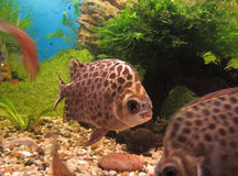 Scatophagus argus in aquarium. Fish in aquarium. Scatophagus argus Royalty Free Stock Photos