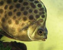 Scatophagus argus en acuario Foto de archivo