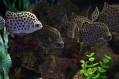 Scatophagus argus or the spotted scat. Scatophagus argus are popular aquarium fish Royalty Free Stock Images