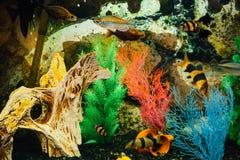 scatophagus för akvariumargus fisk royaltyfri bild