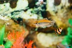 scatophagus för akvariumargus fisk fotografering för bildbyråer