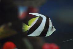 scatophagus för akvariumargus fisk Arkivfoton