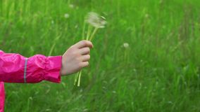 Scatter dandelion seeds. On green grass backgrounds stock footage
