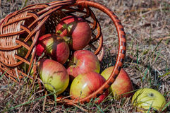 The scattered apples in a basket on a dry grass Stock Photo