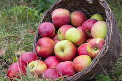 Scattered apples with basket Royalty Free Stock Photo