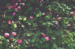 Scattered apples on green grass Royalty Free Stock Images
